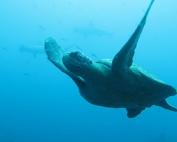 sea turtle swimming in galapagos