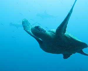 sea turtle swimming in galapagos