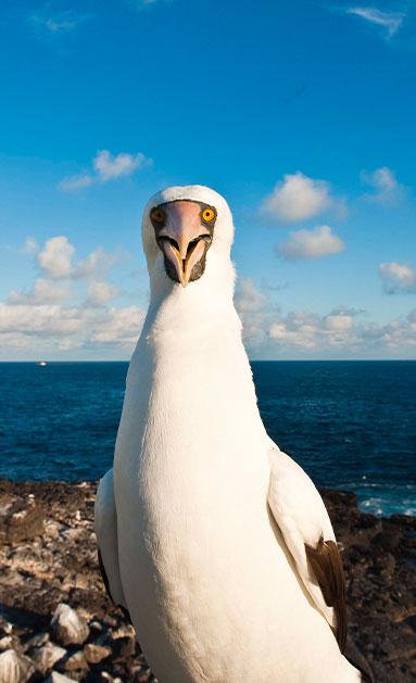 nazca booby galapagos