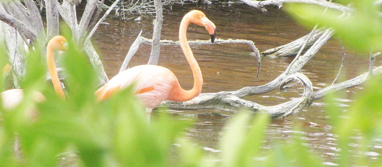 flamingo in galapagos