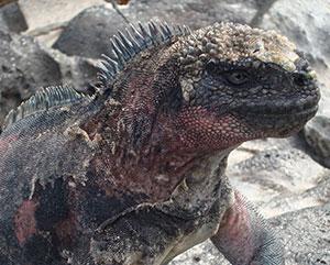 galapagos island marine iguana