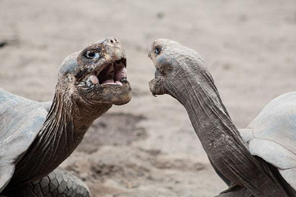 Galapagos Tortoise chatting