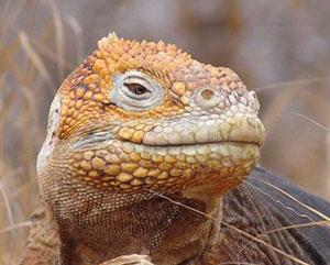 Iguana of Galapagos