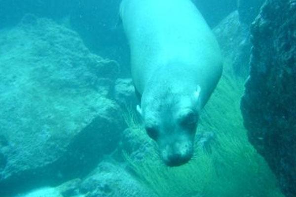 sea lion under the sea