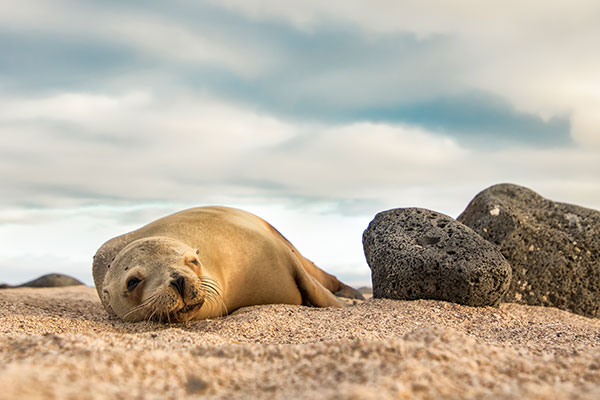 sea lion resting in galapagos