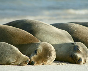 sea lions dreaming